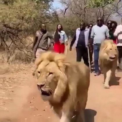 Lions giving tour in jungle - Video & GIFs | nature & travel,africa travel,friendly animals