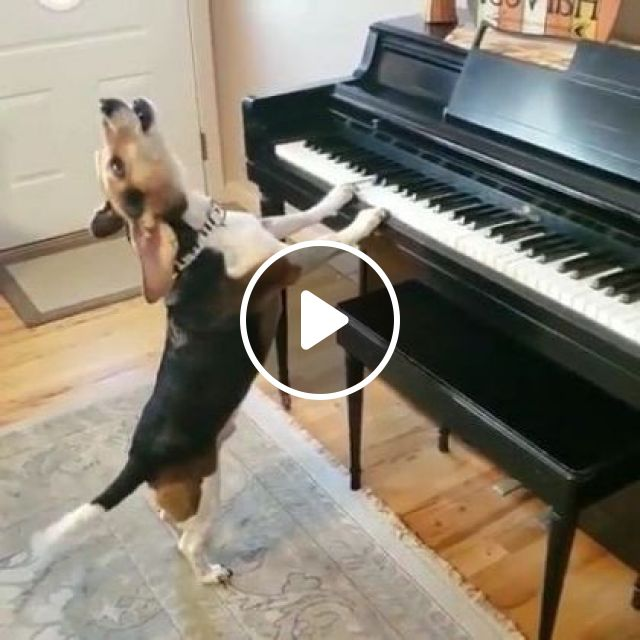 This Lovely Professional Pianist Knows What He's Doing, animals & pets, cute animals, smart dogs, music equipment