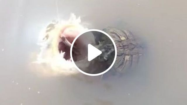 There's Always A Bigger Fish - Video & GIFs   nature & travel, lake travel, smart animals