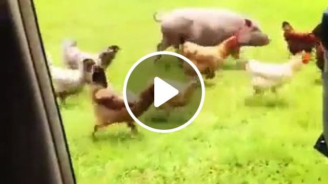 Funny And Happy When You Are On This Farm - Video & GIFs | animals & pets, funny animals, caring animals, plush vehicles, luxury cars