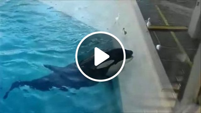 An Orca Fishing For Birds With A Fish - Video & GIFs | animals & pets, smart animals, pool