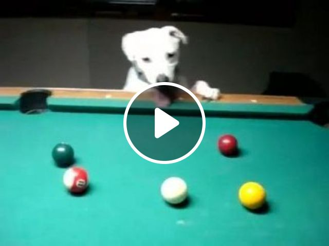 Dogs Can Play Snooker - Video & GIFs | animals & pets, dogs, dog breeds, snooker