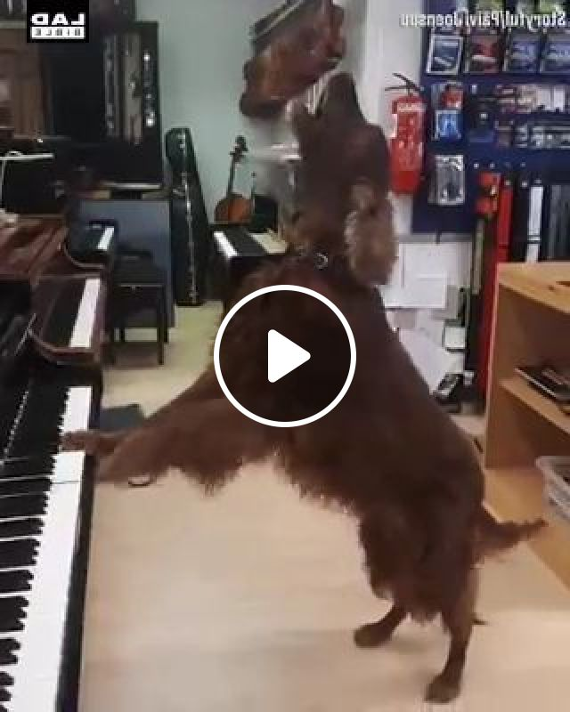 Talented Dog Playing Piano - Video & GIFs | animals & pets, talented dogs, dog breeds, piano, musical instruments, luxury apartments