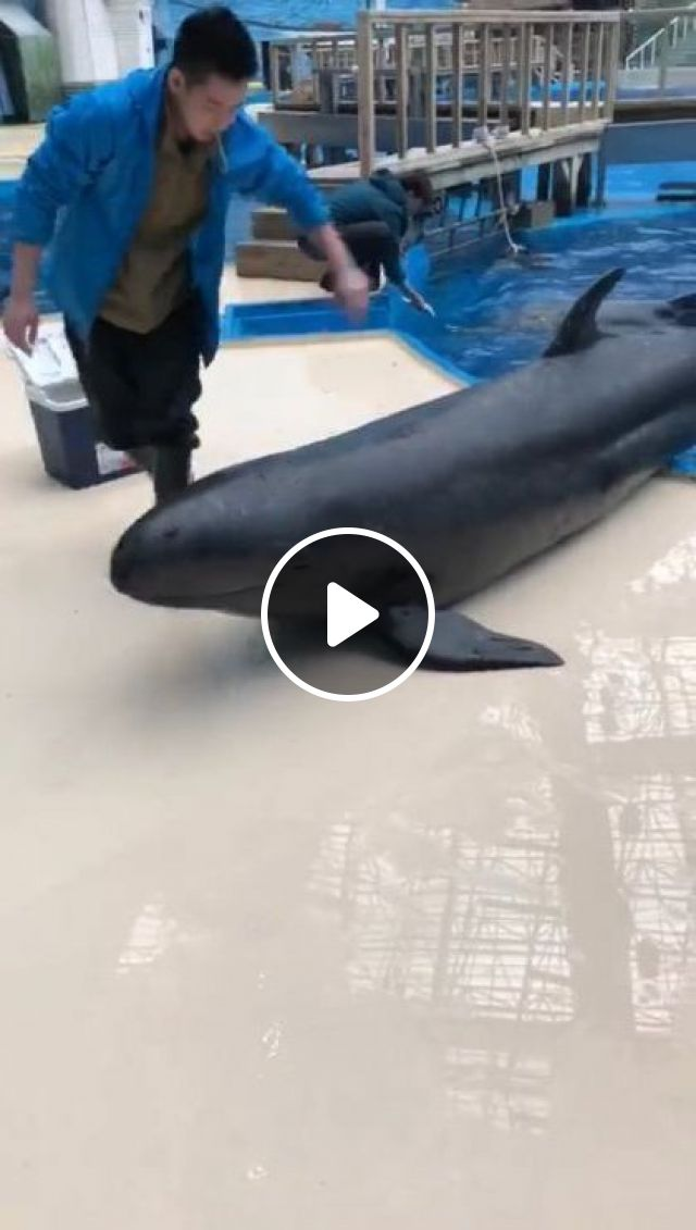 Smart Whale In Pool - Video & GIFs | animals & pets, smart whale, friendly animals, zoo staff, australia zoo