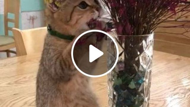 Cat Is Eating My Flower - Video & GIFs | animals & pets, decorative flowers, restaurant furniture, wooden tables, cute cats