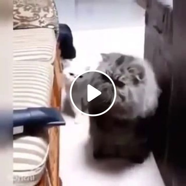 Surprised Cats With Vacuum Cleaners On Sofa - Video & GIFs   animals & pets, cute cats, white cats, luxurious sofa, vacuum cleaner, living room furniture