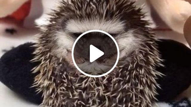 Pet is a cute baby porcupine - Funny Videos - funnylax.com - animals & pets,cute animals,baby porcupines,stuffed animals,pet care