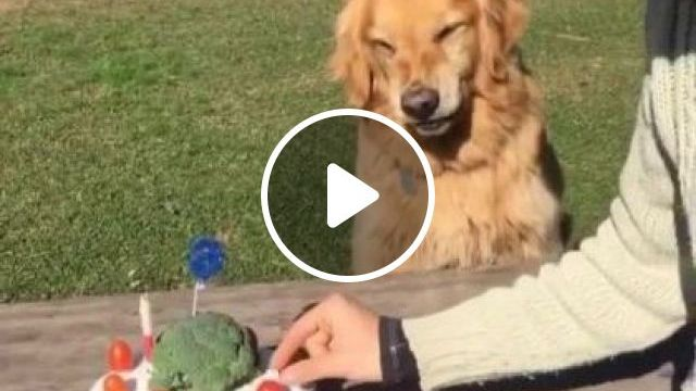 Don't Touch Cake! Dog Said .. - Video & GIFs   animals & pets, golden retriever dogs, pet care, funny man