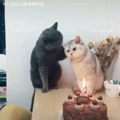 Cat's birthday has cake and candle - Video & GIFs   animals & pets,birthday cakes,black cats,cat breeds,friendly animals
