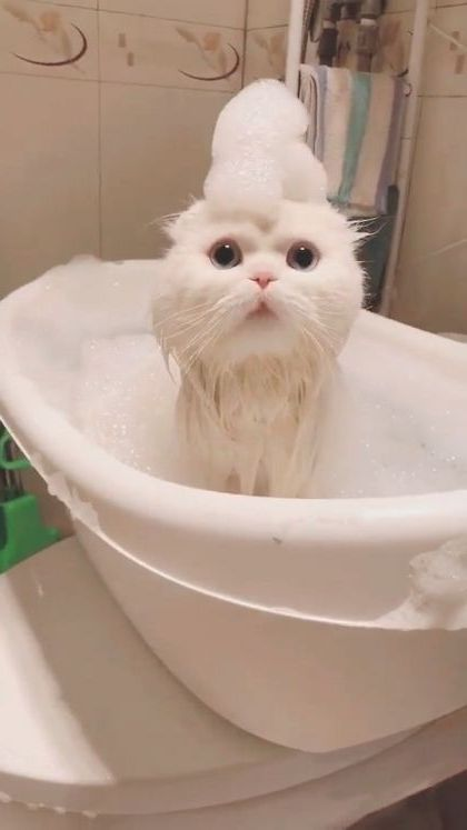cat prince in luxurious bathroom - Video & GIFs | animals & pets,prince cat,white cat,luxurious bathroom