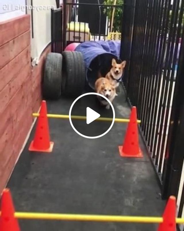 Dogs Are Very Smart When Trained - Video & GIFs | animals & pets, smart dogs, yellow dogs, dog training