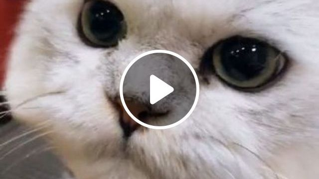 Today's Cat Gets Hair Care - Video & GIFs | animals & pets, cute cats, white cats, hair care