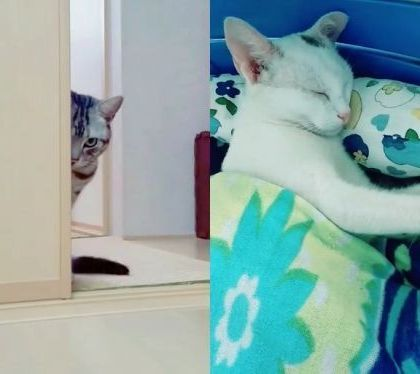 Hi hi Cat waiting for ... - Video & GIFs | white cats,cat breeds,funny animals