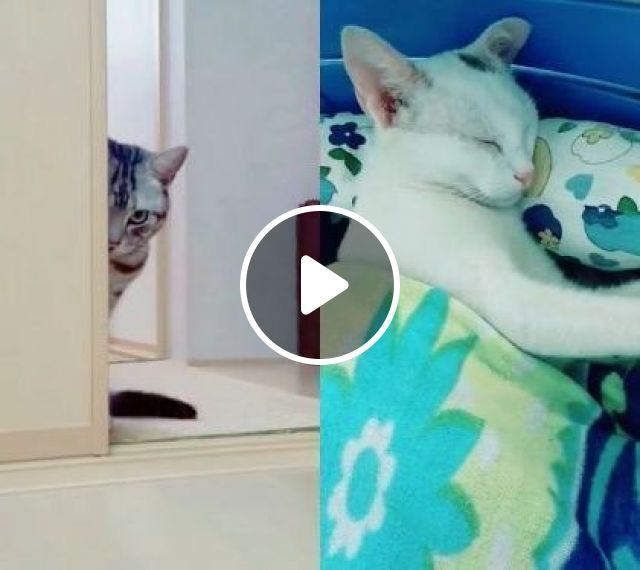 Hi Hi Cat Waiting For ... - Video & GIFs   white cats, cat breeds, funny animals