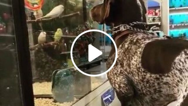 Dog Encounters Birds At Pet Store - Video & GIFs   animals & pets, dogs, dog breeds, pet shops, cute dogs