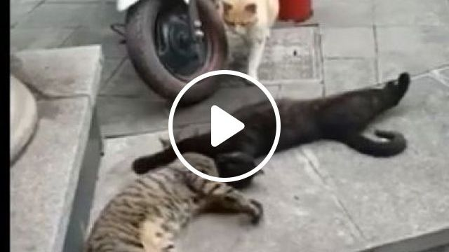 Darling! I Can Explain! - Video & GIFs | animals & pets, cute cats, cat breeds, funny animals