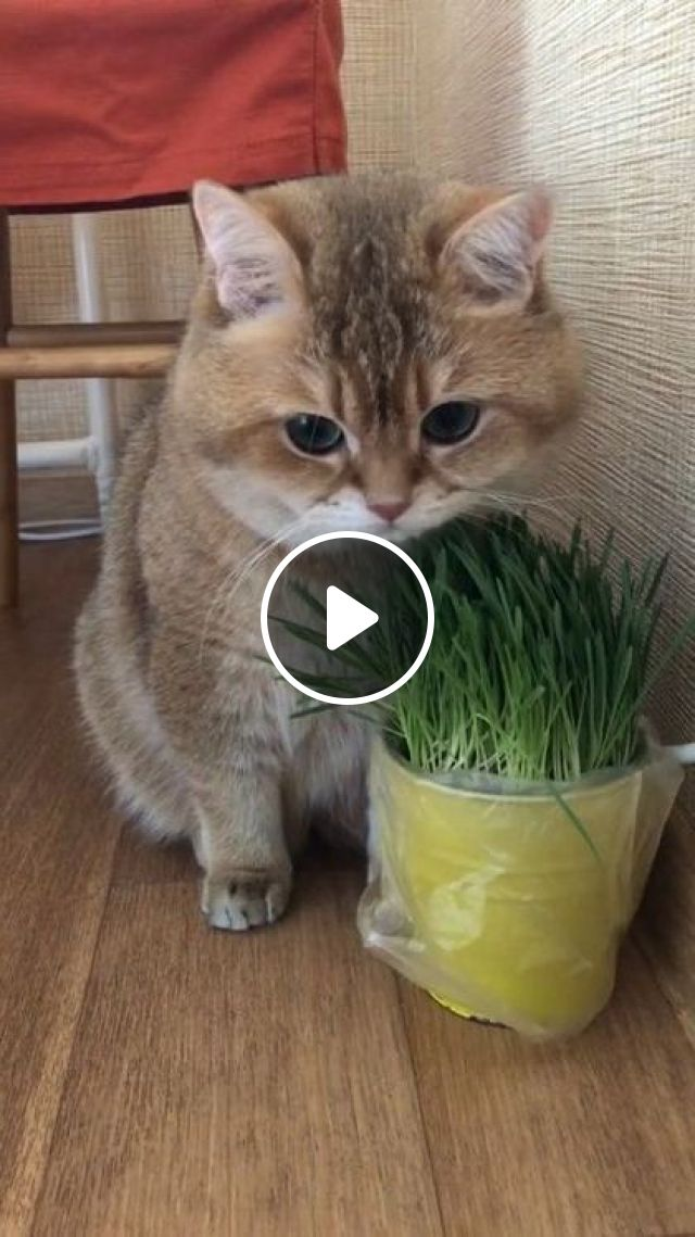 Afternoon Of Cat - Video & GIFs | animals & pets, animal care, cat breeds, cute cat, wooden floor