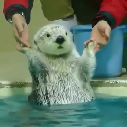 Wait a minute,  water is cool - Funny Videos - funnylax.com - animals & pets,cute animals,swimming pools,polar bear,sea otter