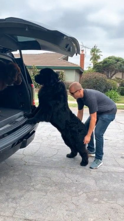 a man helps giant dog onto car - Video & GIFs | animals & pets,friendly men,giant dogs,luxury cars