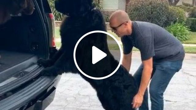 a man helps  giant dog onto  car - Funny Videos - funnylax.com - animals & pets,friendly men,giant dogs,luxury cars