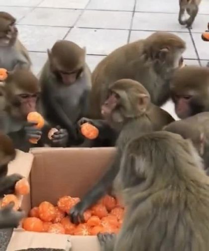 New Year party - Video & GIFs | animals & pets,cute monkeys,friendly animals,animal food