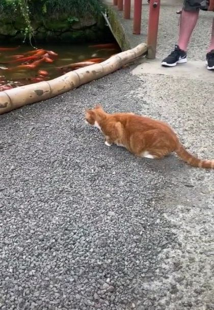 What is cat doing - Video & GIFs | animals & pets,smart cats,cat beeds,ornamental fish