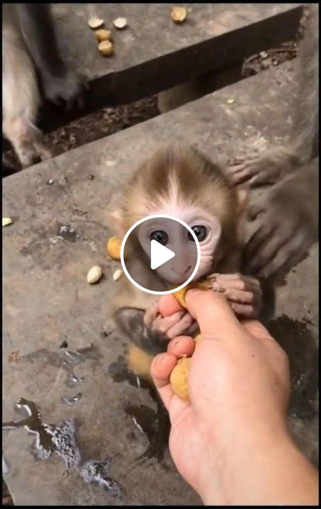 Mother Monkey Is Guiding Baby Monkey To Eat Fruit - Video & GIFs | animals & pets, cute monkey, animal care