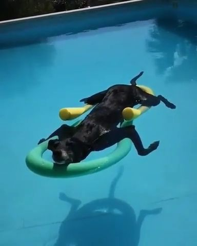 Soaking up that summer sun in  pool - Funny Videos - funnylax.com - animals & pets,cute dogs,swimming pools,summer cooling