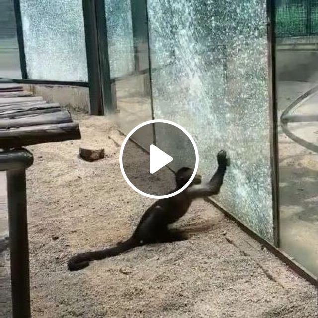 Planet Of Apes,it Begins - Video & GIFs   animals & pets, smart animals, funny animals