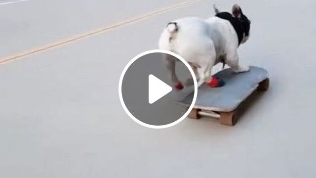 Talented Dog Is Playing Skateboards In Chinese Street - Video & GIFs   animals & pets, talented dogs, demonstration skis, chinese streets