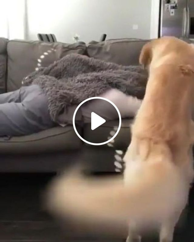 You're Not Napping Without Me ,dog Said - Video & GIFs | animals & pets, funny animals, living room furniture