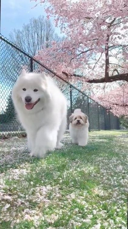 Japan travel, Raining cherry blossoms and dogs - Funny Videos - funnylax.com - nature & travel,cute dogs,japan travel,dog breeds