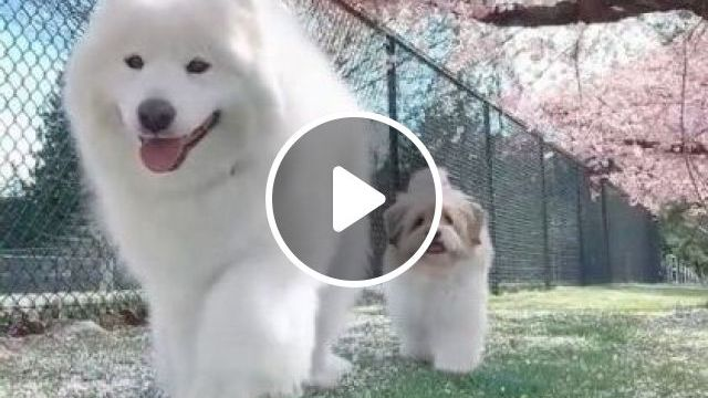 Japan Travel, Raining Cherry Blossoms And Dogs - Video & GIFs | nature & travel, cute dogs, japan travel, dog breeds