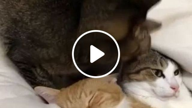 Cat don't care, cat just wants to sleep - Funny Videos - funnylax.com - animals & pets,cat breeds,cute cats