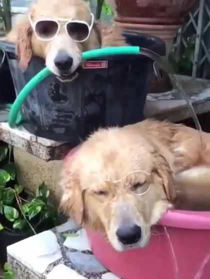Amazing summer vacation of golden retriever dogs - Video & GIFs | animals & pets,golden retriever,cute dogs,fashionable sunglasses
