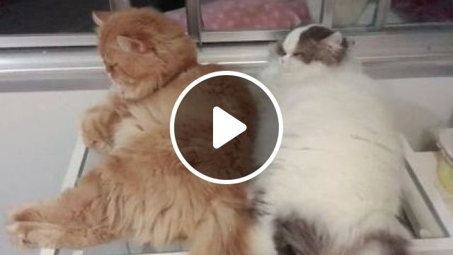 Waiting, Thinking, Giving Up - Video & GIFs | animals & pets, animal care, cat breeds, cute cat