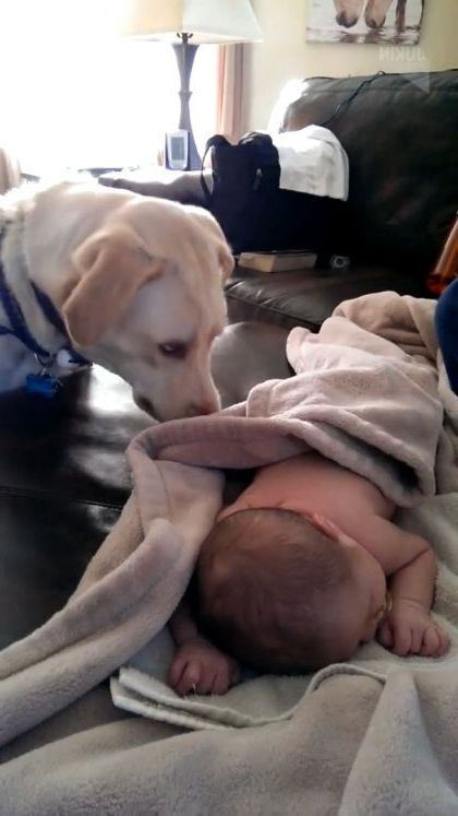 Good dog is taking care of baby - Video & GIFs | animals & pets,smart dogs,dog breeds,cute babies,interior apartments