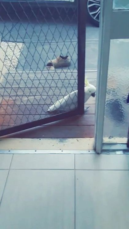 Don't worry it's just me at door - Video & GIFs | animals & pets,smart parrots,funny animals,iron gates