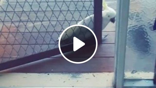 Don't Worry It's Just Me At Door - Video & GIFs   animals & pets, smart parrots, funny animals, iron gates