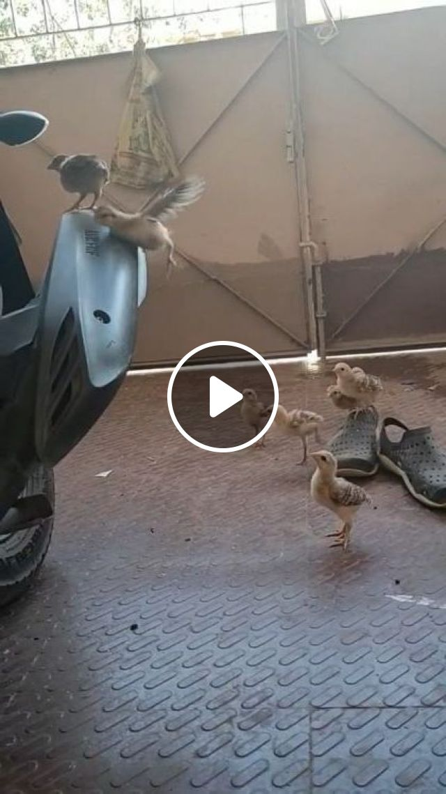 Oppo Million Birds Chick Challenge - Video & GIFs   animals & pets, funny animals, caring animals