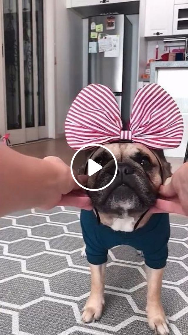 I Liked First Candy Striped Bow - Video & GIFs   animals & pets, dog breeds, caring animals