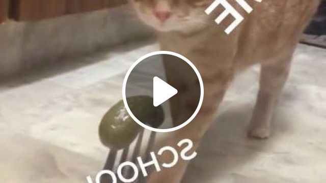 I Laughed So Hard - Video & GIFs   animals & pets, yellow cats, cute cats, cat breeds