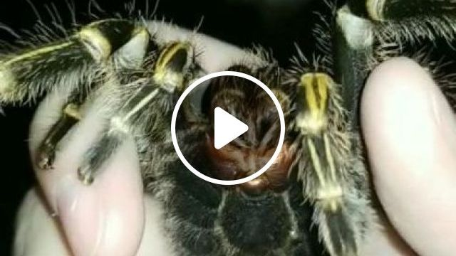 Giant Spider - Video & GIFs | animals & pets, cute animals, black spiders