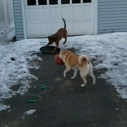 Smart dogs play skiing in yard