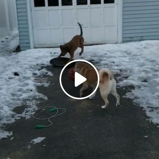Smart Dogs Play Skiing In Yard - Video & GIFs | Animals & Pets, smart dogs, dog breeds, American travel, home turf, pet toys