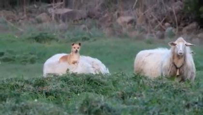 Dog riding a sheep traveling in forest - Video & GIFs   Animals & Pets, smart dogs, adorable dogs, japanese travel, sheep farms