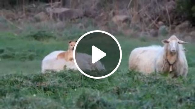 Dog riding a sheep traveling in  forest - Funny Videos - funnylax.com - Animals & Pets, smart dogs, adorable dogs, japanese travel, sheep farms
