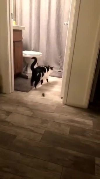 Cats like to play in bathroom