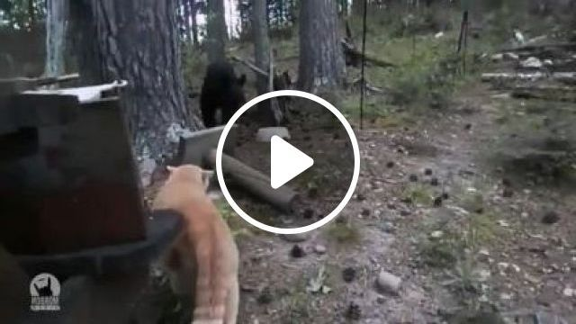 In forest, cats and bears are good friends, Animals & Pets, yellow cats, funny cats, pine forests, wild bears, Russian travel