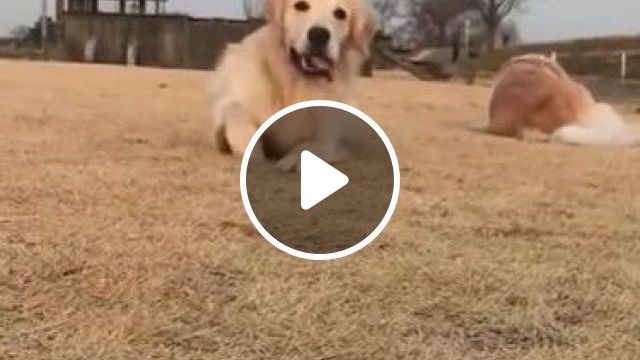 Dog Is Very Happy When Traveling On The Farm - Video & GIFs | Animals & Pets, yellow dogs, breed dogs, Swiss travel